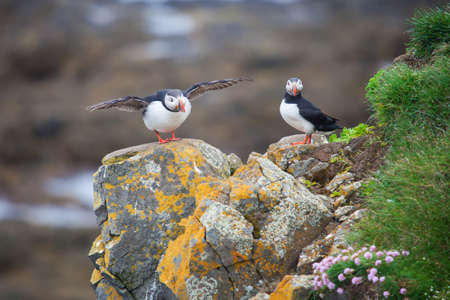Atlantic Puffins sitting on a grassy cliff, blue ocean and black beach as a background, Iceland