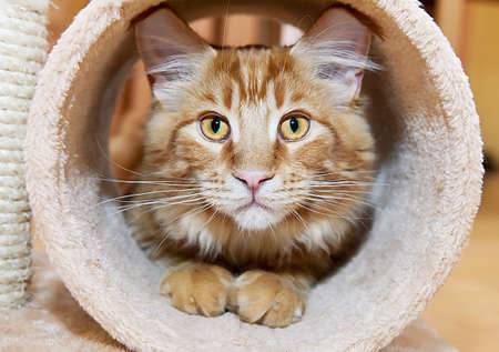 Maine Coon Kitten in tube of scratching post
