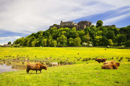 Highland cow in front of Stirling Castle. Typical scottish highland Cow. Stirling, Scotland, UK Stok Fotoğraf