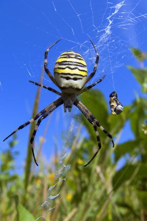 colouration: Spider
