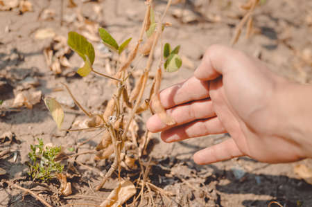 riped: Picture of hand touching beans at harvest time. Plants with riped pods on blurred countryside background. Stock Photo