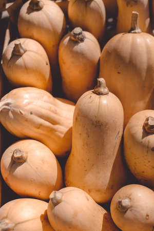 scapes: Closeup photo of ripe edible orange long shaped pumpkins with scapes