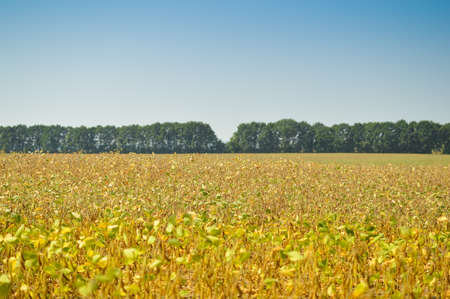 riped: Picture of beans field at harvest time. Plants with riped pods on blurred summer countryside background, blue sky.