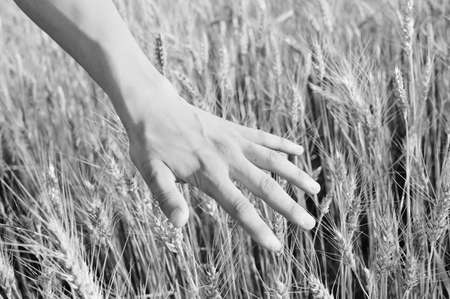 cereals holding hands: Black and white photography of closeup on hand in wheat field on summer day outdoors background