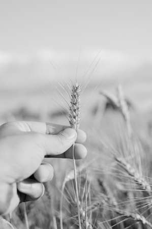 cereals holding hands: Black and white photography of close up on hand holding wheat spikelet on sunny day sky outdoors background Stock Photo