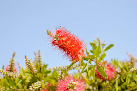 Australian CALLISTEMON PLANT red bottle brush flower blooming on sunny outdoors. Closeup on vibrant colorful exotic natural floral bright lieves background