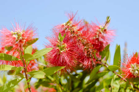 Colorful beautiful Callistemon natural exotic blooming flower bush vibrant abstract background, closeup photo Stock Photo