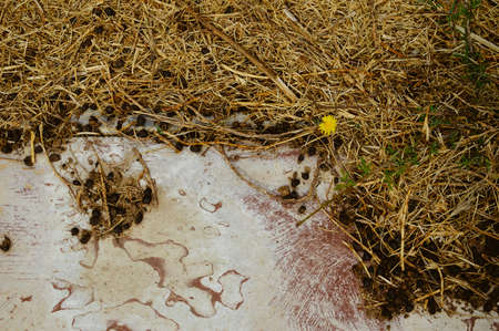 Grass and droppings on the ground. Close up of black color goat sheep excrement, animal path on outdoors farmland abstract background