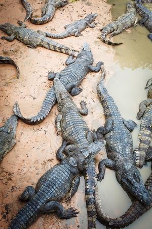 cruel zoo: large crocodiles in the zoo of Cambodia