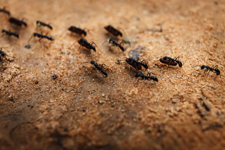 Colony of ants and their teamwork in Cambodia