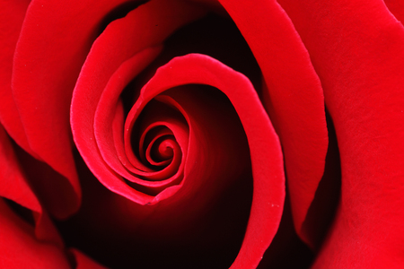 Macro shot of a red rose with water drops Archivio Fotografico
