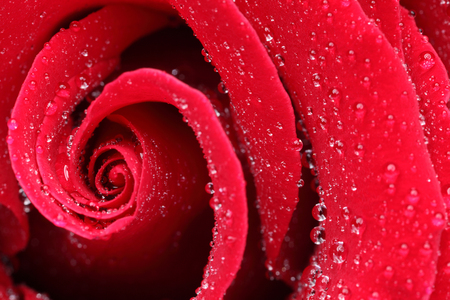 red rose: Macro shot of a red rose with water drops Stock Photo