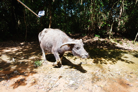 water buffalo: Water buffalo in a forest in asia. Cambodia.