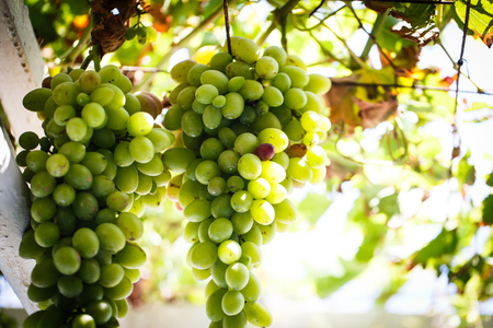 biological vineyard: Bunch of green grapes on the vine