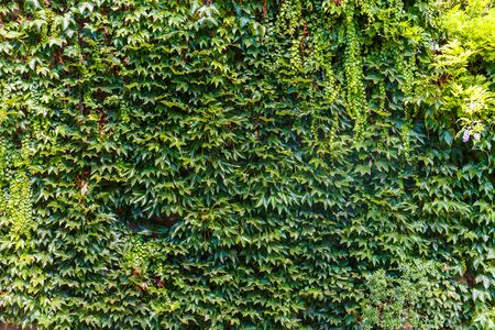 green wall: Green wall of green foliage outdoor in Paris Stock Photo