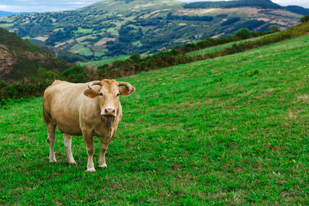 A cow walking across the field on the nature
