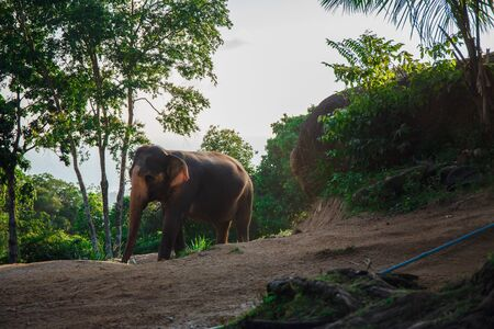 Beautiful elephant walks in nature in Thailand Zdjęcie Seryjne