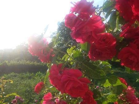 shrub: shrub rose Stock Photo