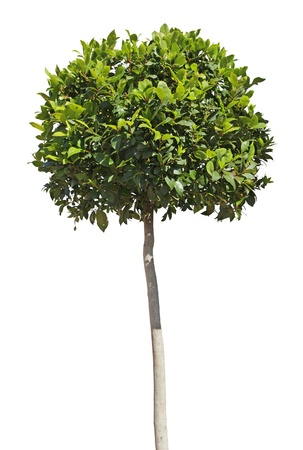 Decorative trimming of bay tree (laurus nobilis) in the shape of a ball.
