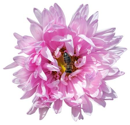 Pink aster flower with worker bee  isolated on white background.