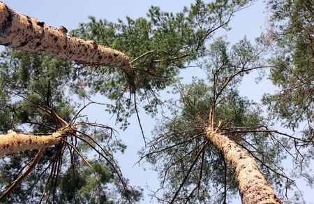 pine three: Looking up into the pine tree tops backed by a blue sky. Stock Photo