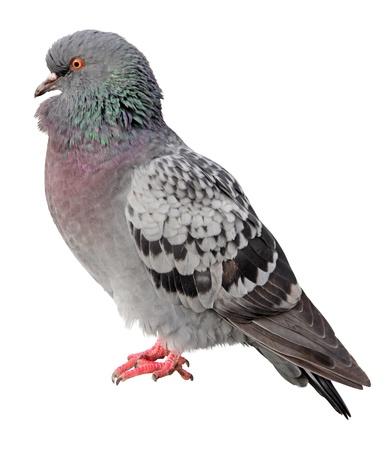 pigeons: Une vision commune de pigeon c�t� isol� sur fond blanc. Banque d'images