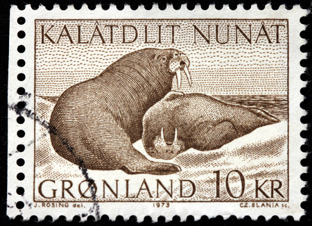 GREENLAND - CIRCA 1973: A stamp printed by DENMARK shows image of two walruses -  large flippered marine mammals, circa 1973