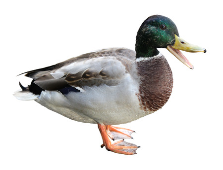 Colourful quacking mallard or wild duck (Anas platyrhynchos) isolated on white background. Stock Photo