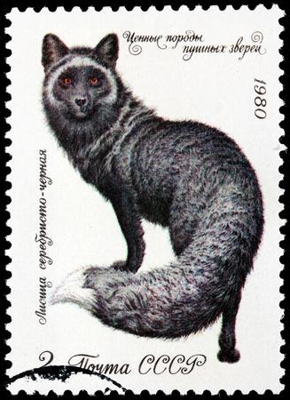 silver fox: RUSIA - CIRCA 1980: Un sello impreso por la URSS muestra el zorro plateado (Vulpes vulpes) - una forma melanistic de zorro rojo, alrededor de 1980 Editorial