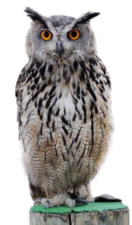 halcones: El b�ho de la India, tambi�n llamado el b�ho de rock o de Bengala b�ho real (Bubo bengalensis) - una especie de gran b�ho de cuernos que se encuentra en el subcontinente indio.