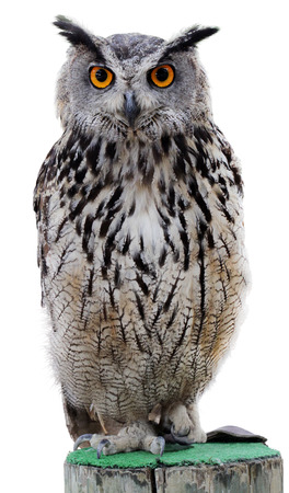 The Indian eagle-owl, also called the rock eagle-owl or Bengal eagle owl, (Bubo bengalensis) - a species of large horned owl found in the Indian Subcontinent.