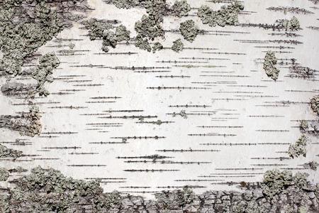 白樺ツリー銀皮テクスチャのクローズ アップ ビュー。抽象的な背景に適しています。