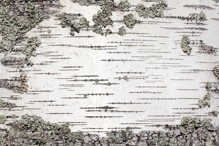 Closeup view of birch tree silver bark texture. Suitable for an abstract background. Stock Photo