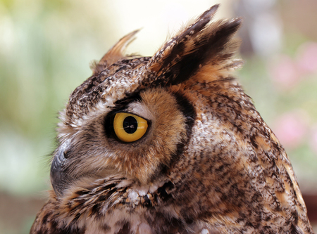 bengalensis: The Indian eagle-owl, also called the rock eagle-owl or Bengal eagle owl, (Bubo bengalensis) - a species of large horned owl found in the Indian Subcontinent.