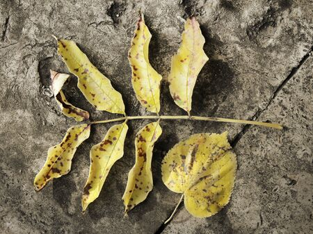 flagging: Sepia toned view of yellow faded autumn leaves against old flagging stones. Suitable for an abstract background. Stock Photo