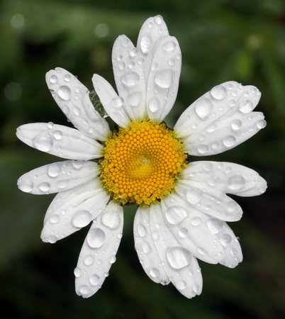 oxeye: Closeup of the beautiful blooming Oxeye Daisy with water drops after summer rain. Selective focus.