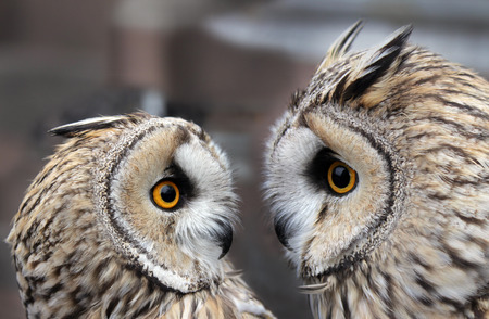 boreal: Two Boreal Owls. In Europe, they are typically known as Tengmalms owls after Swedish naturalist Peter Gustaf Tengmalm or, more seldomly, Richardsons owl after Sir John Richardson.