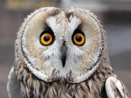 The Boreal Owl. In Europe, it is typically known as Tengmalms owl after Swedish naturalist Peter Gustaf Tengmalm or, more seldomly, Richardsons owl after Sir John Richardson. Stock Photo