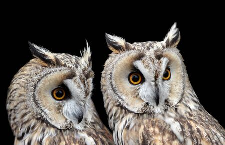 boreal: Two Boreal Owls against black background. Stock Photo