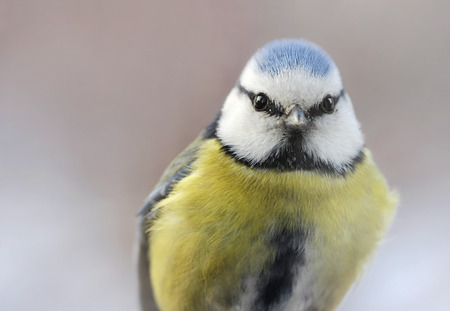tit bird: Close up view of the Eurasian Blue Tit bird in winter time with place for your text. Shallow depth, selective focus.