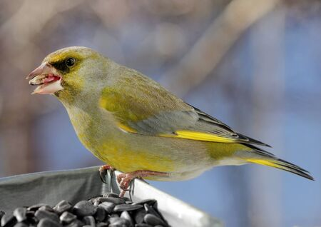 greenfinch: Close up view of beautiful Greenfinch bird (male) at a feeder in a sunny spring day. Shallow depth, selective focus.