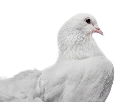 Beautiful white pigeon side view isolated on a white background.