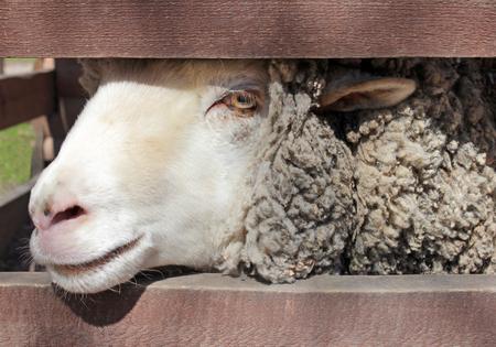 corral: White sheep female portrait in farm wooden corral