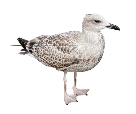 Side view of Juvenile European Herring Gull against of the white bacground. European Herring Gull is one of the best known of all gulls along the shores of western Europe.