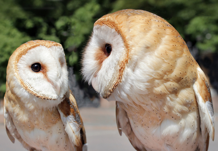 Two beautiful barn owls. The barn owl is the most widely distributed species of owl, and one of the most widespread of all birds. Shallow depth, selective focus.