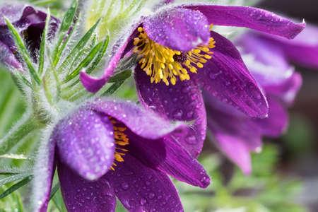 pasqueflower: purple pasque-flower