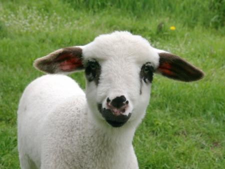 oveja negra: Cordero en face