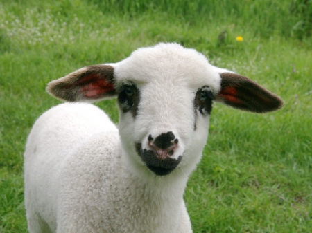 Lamb en face photo