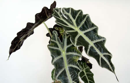 Close up of a giant Alocasia leaf on a white background