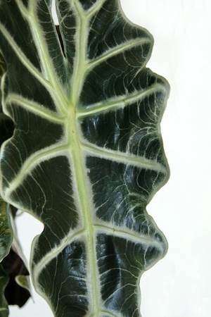 Close up of a giant Alocasia leaf photo